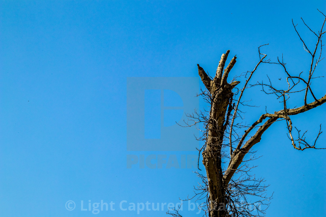 """""""Dry tree clear blue sky background"""" stock image"""
