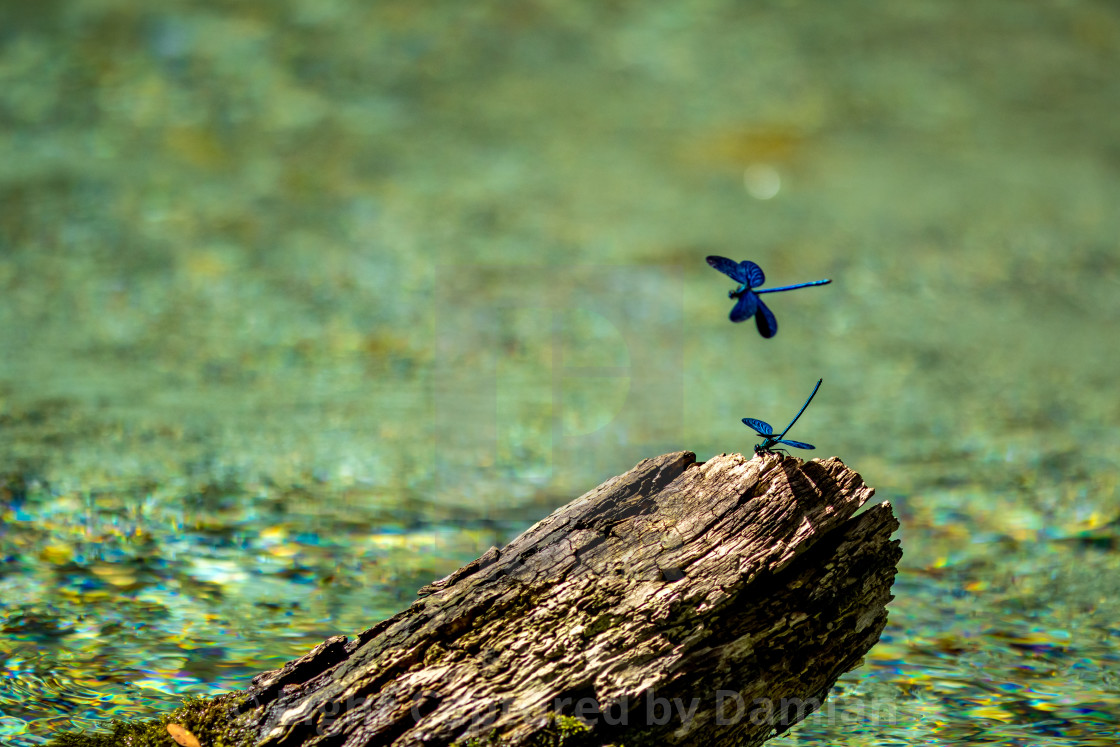 """""""Blue dragonfly near dry tree branch in river water"""" stock image"""