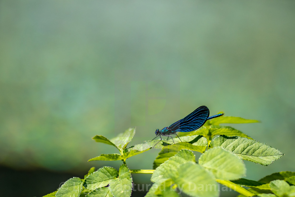 """""""Lovely blue dragonfly rests on spring green leaves"""" stock image"""