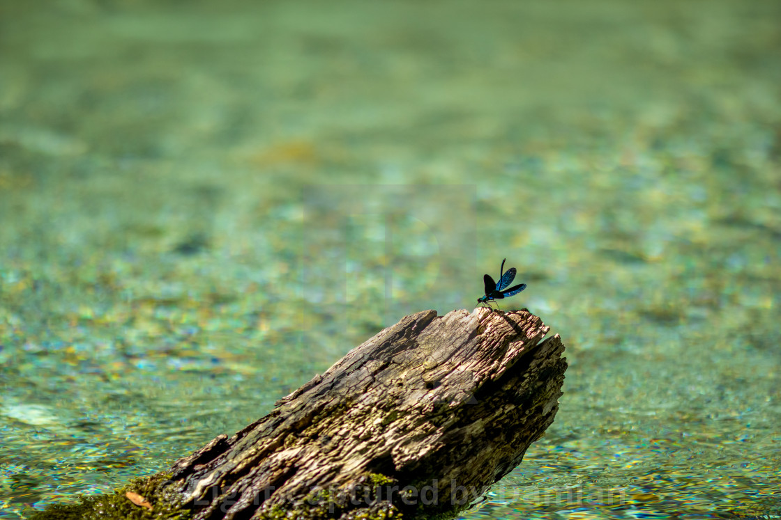 """Blue dragonfly near dry tree branch in river water"" stock image"