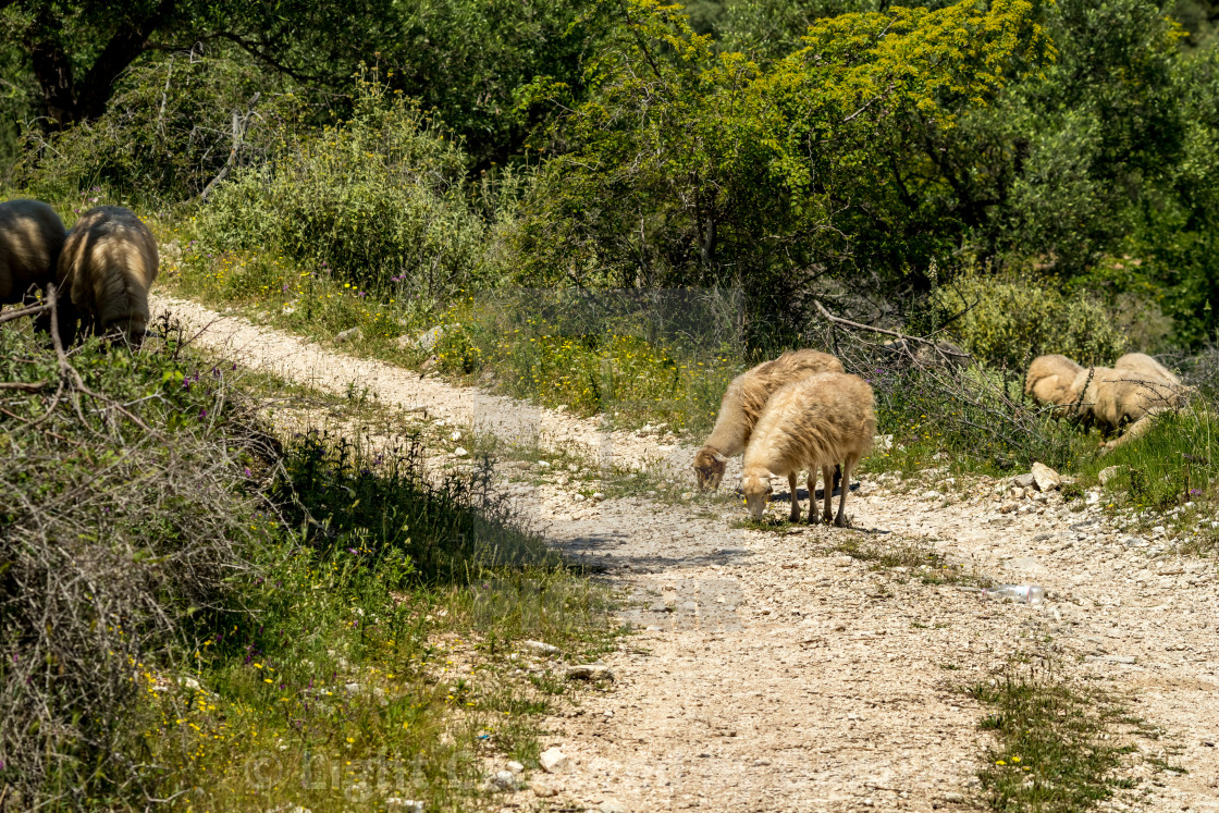 """Sheep on dusty mountain road in Albania"" stock image"