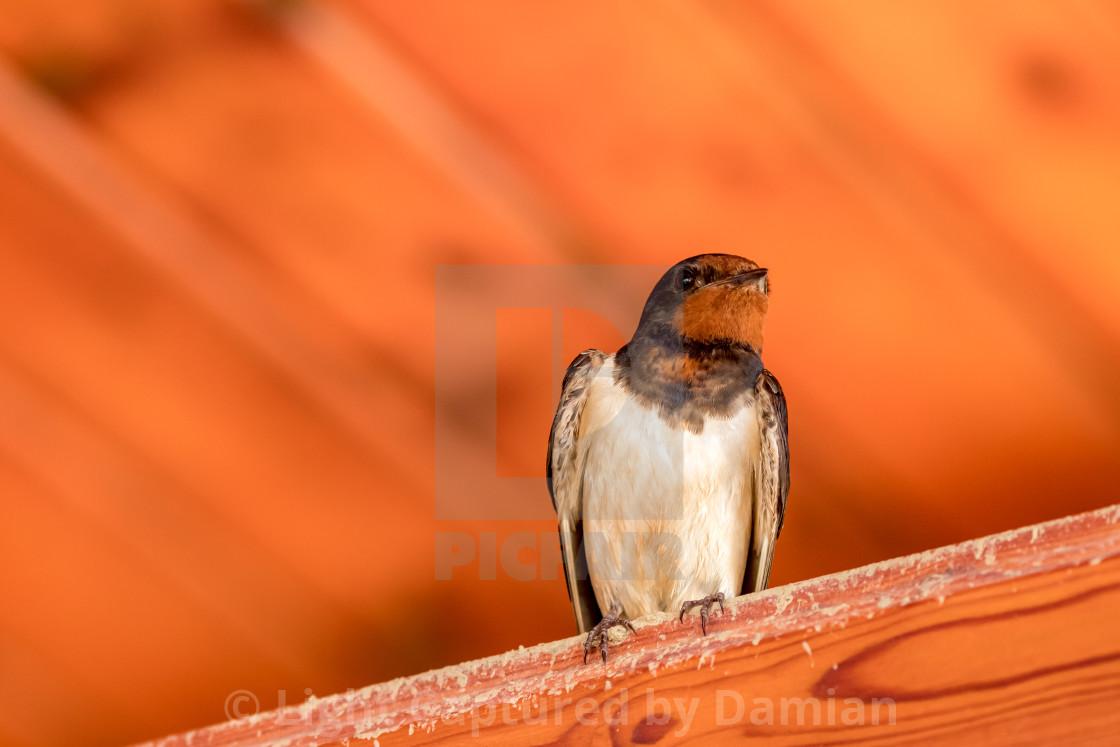 """Close up portrait of swallow bird"" stock image"