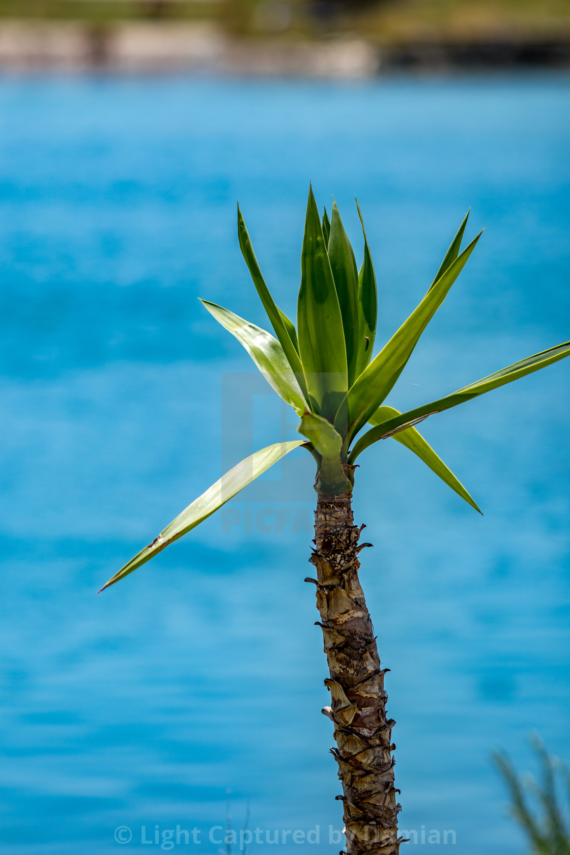 """""""Young palm tree blurred blue lagoon background"""" stock image"""