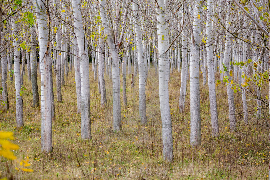 """Tree progression, nature perspective, poplars"" stock image"
