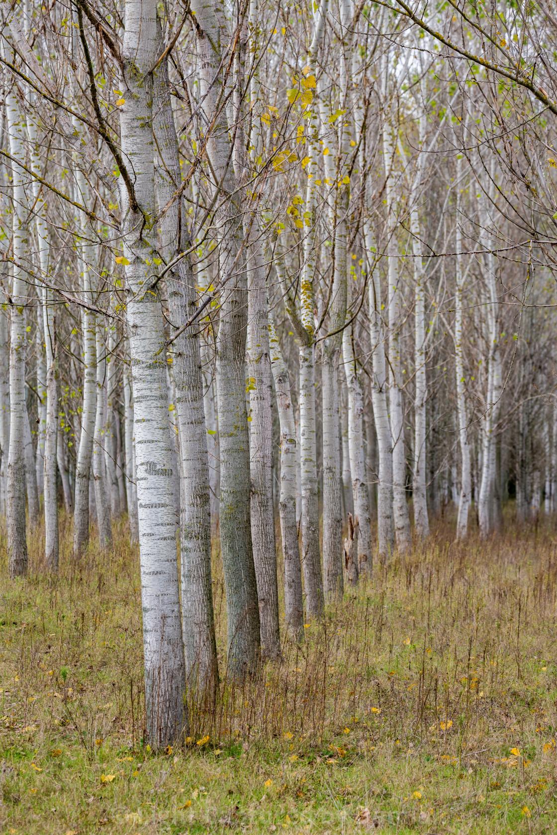 """Tree progression, nature perspective, poplars"" stock image"