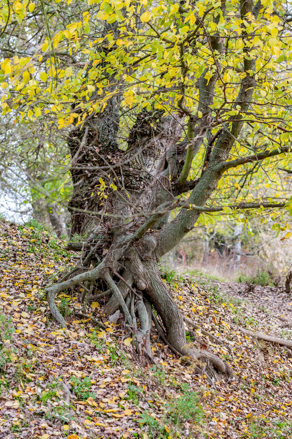 """Willow tree with roots in autumn"" stock image"