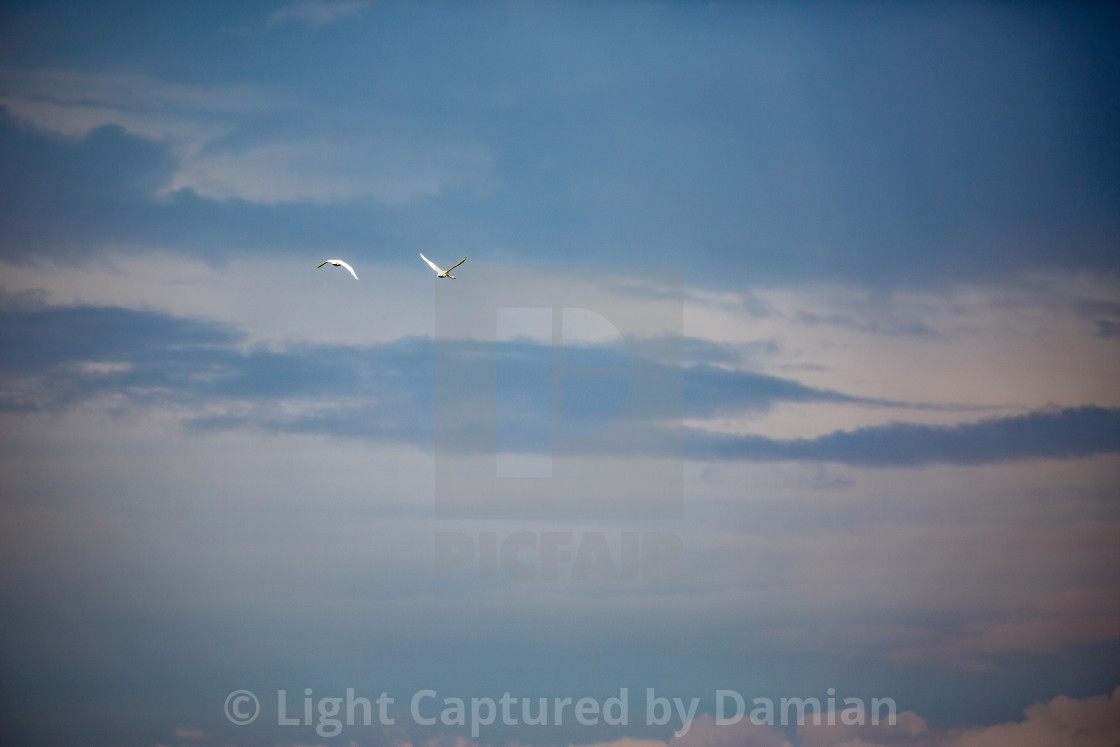 """Dramatic sky and two Great White Egrets in flight"" stock image"