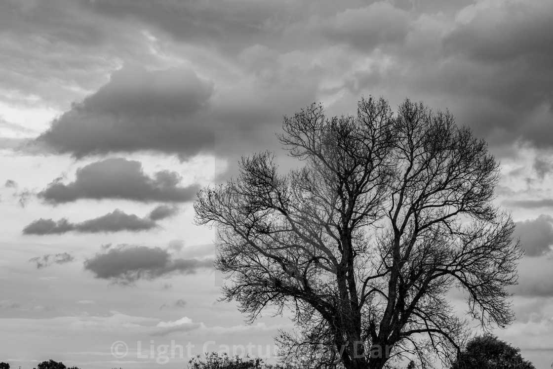 """Bare branches walnut tree dramatic sky background"" stock image"