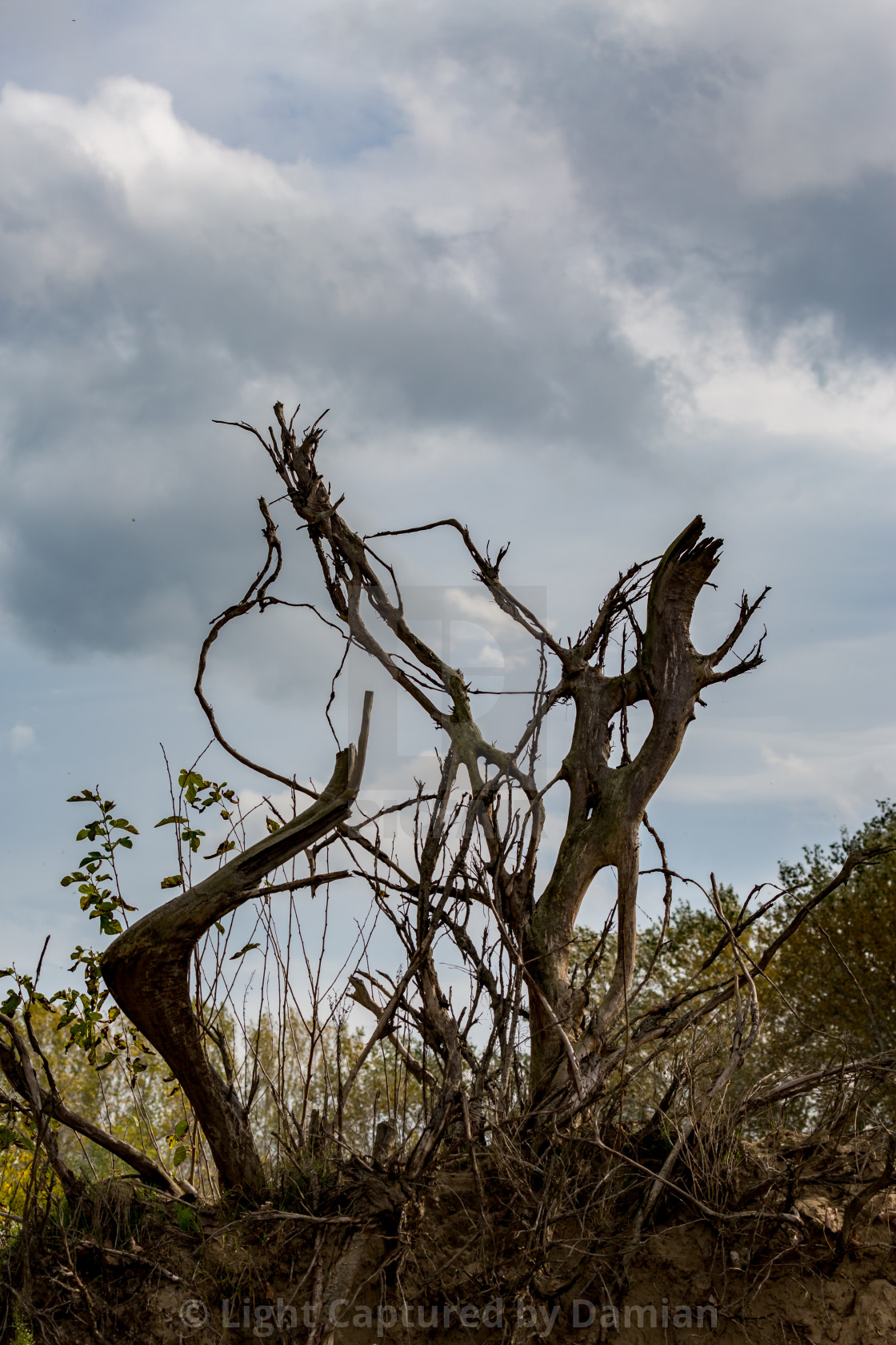 """""""Poplar tree roots in the air"""" stock image"""