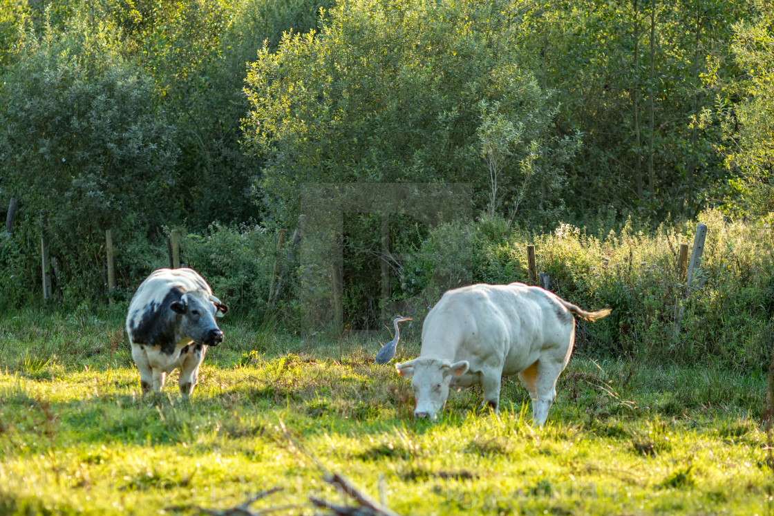 """Belgian Blue cows, meat breed, in sunny day"" stock image"