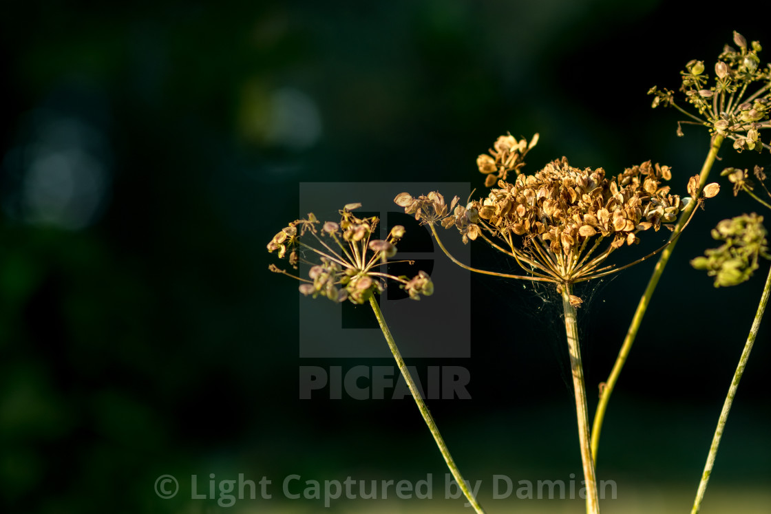"""Autumn dried flower seeds selective focus"" stock image"