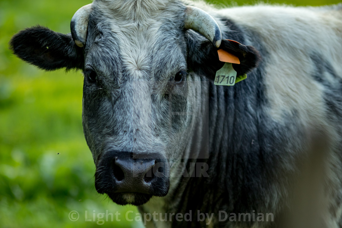 """""""Belgian Blue cow, meat breed"""" stock image"""
