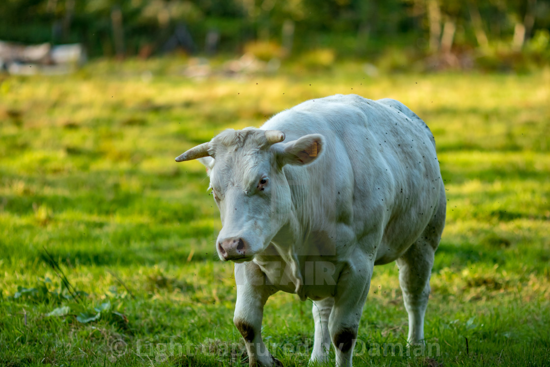 """Belgian Blue cow, meat breed"" stock image"