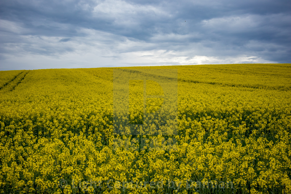 """Yellow oilseed rape field under dramatic sky"" stock image"
