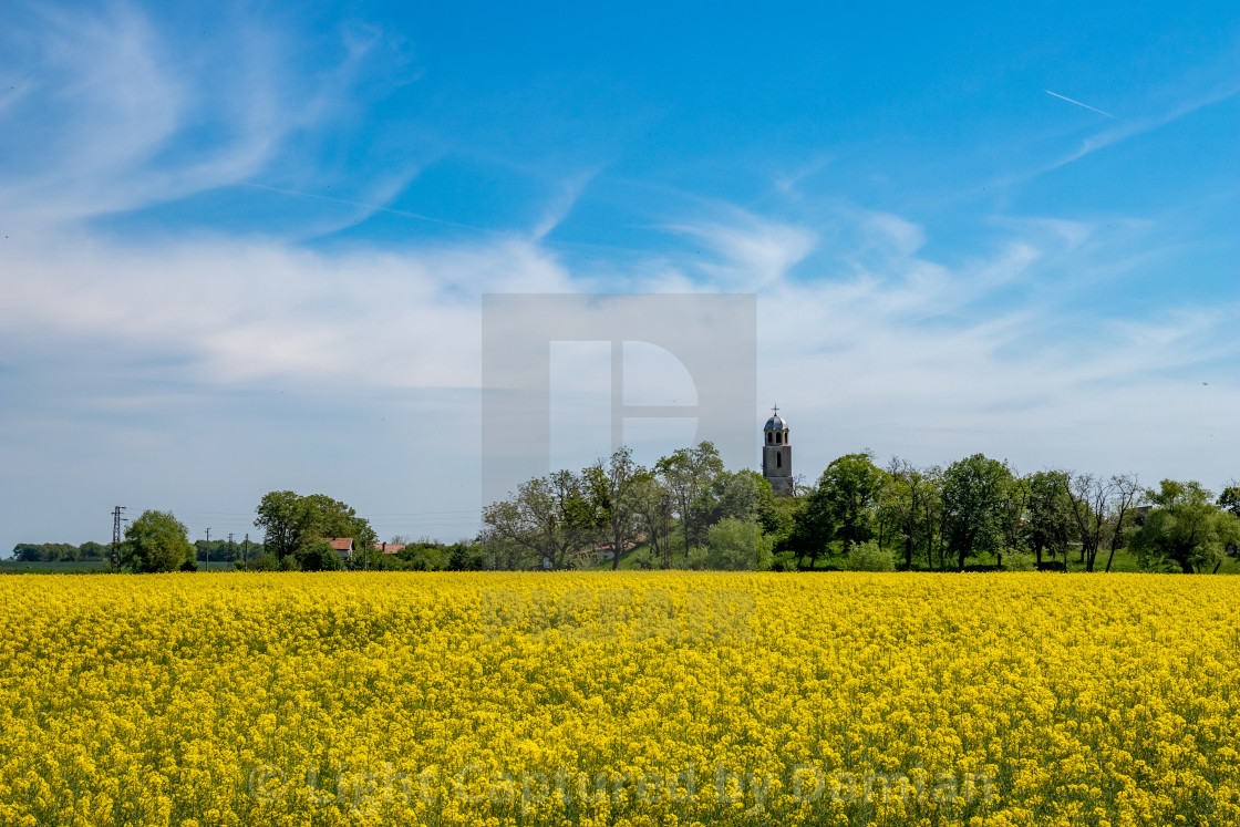 """""""Blossoming rapeseed field and church in background"""" stock image"""
