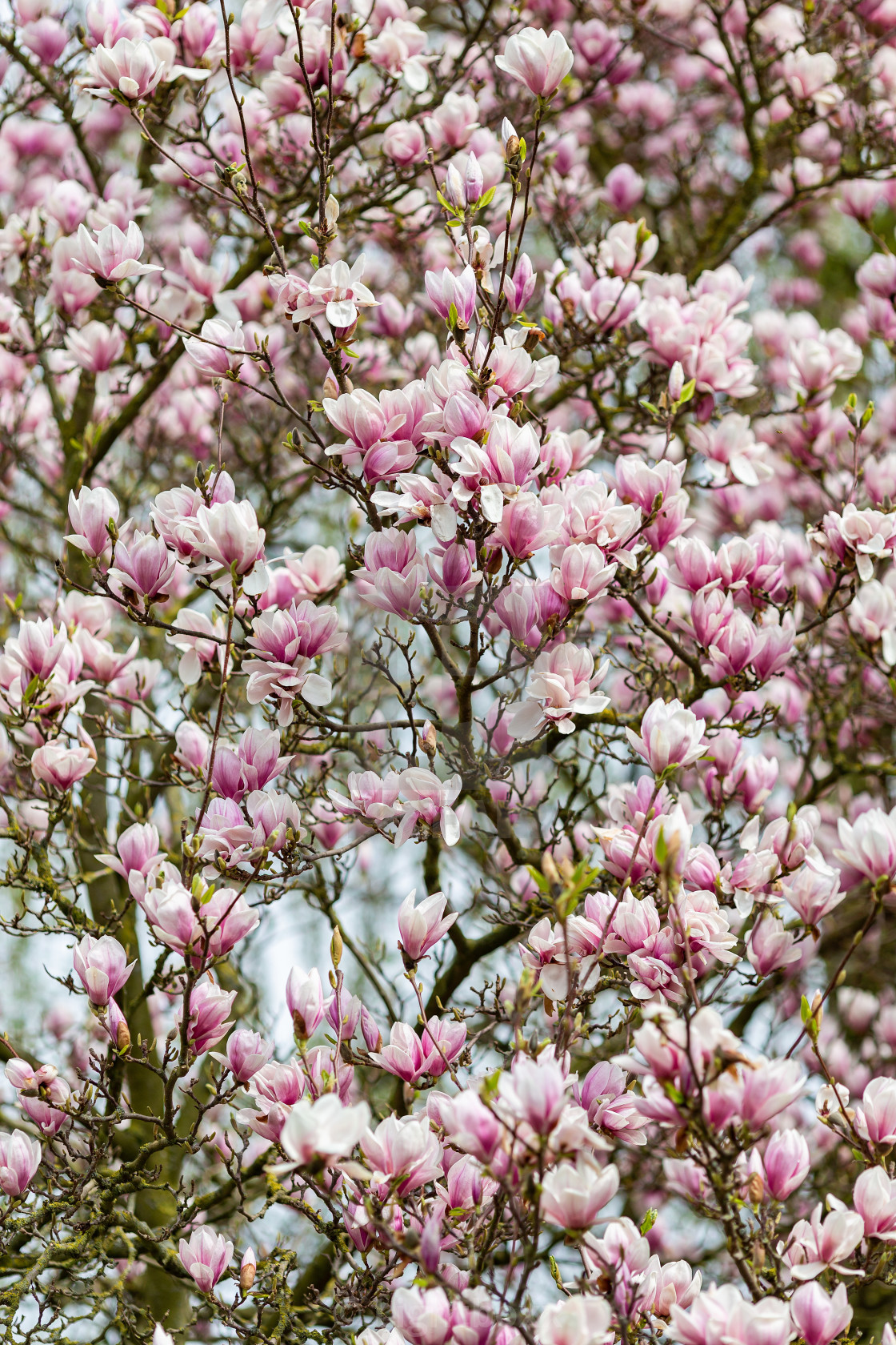 Magnolia Tree In Full Bloom License Download Or Print For 620