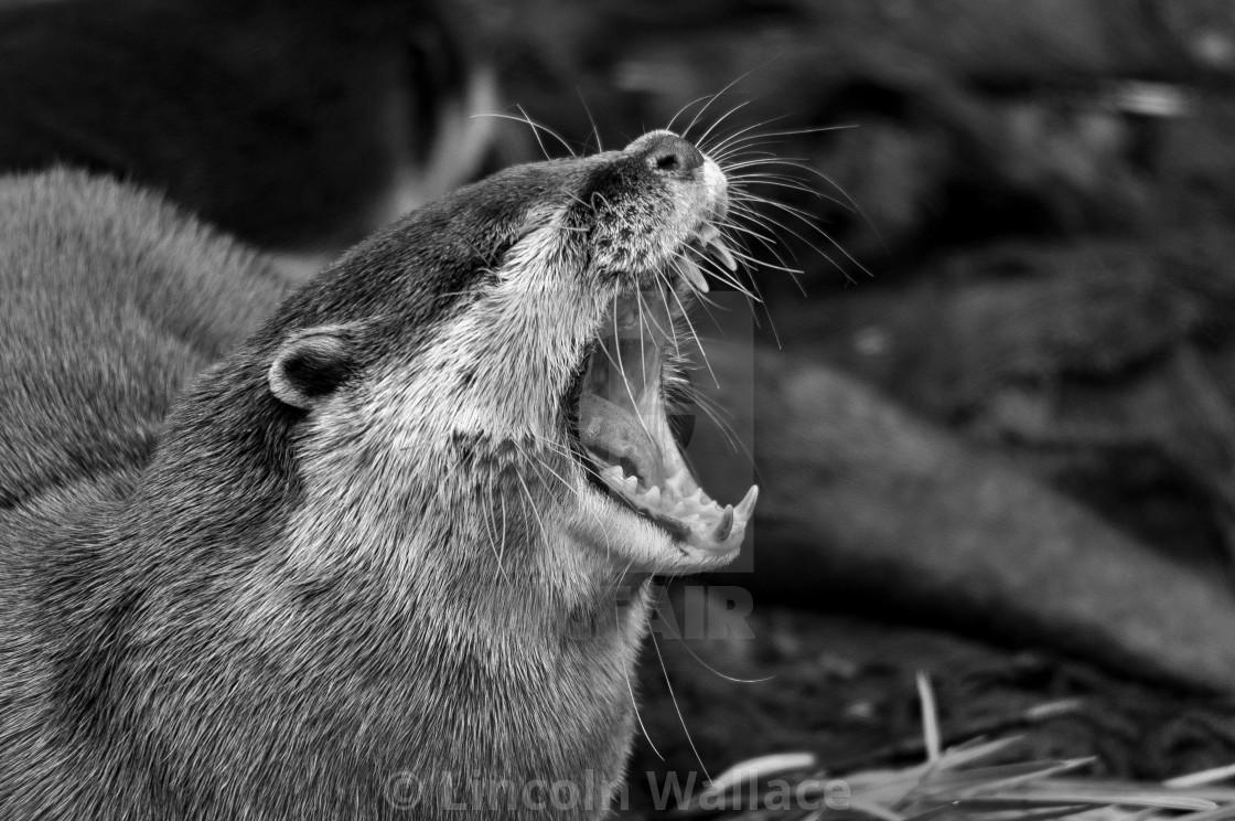 """Otter II B&W"" stock image"
