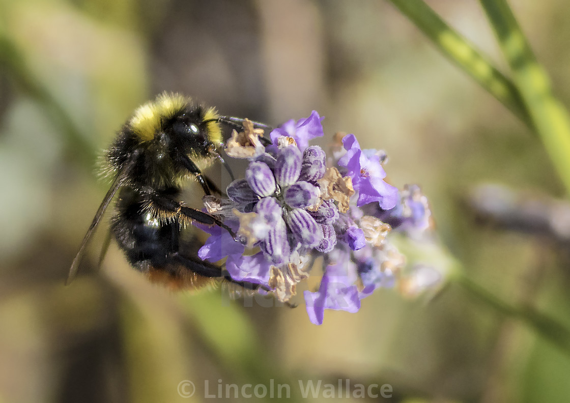 """""""Bumble Bee on Lavender"""" stock image"""