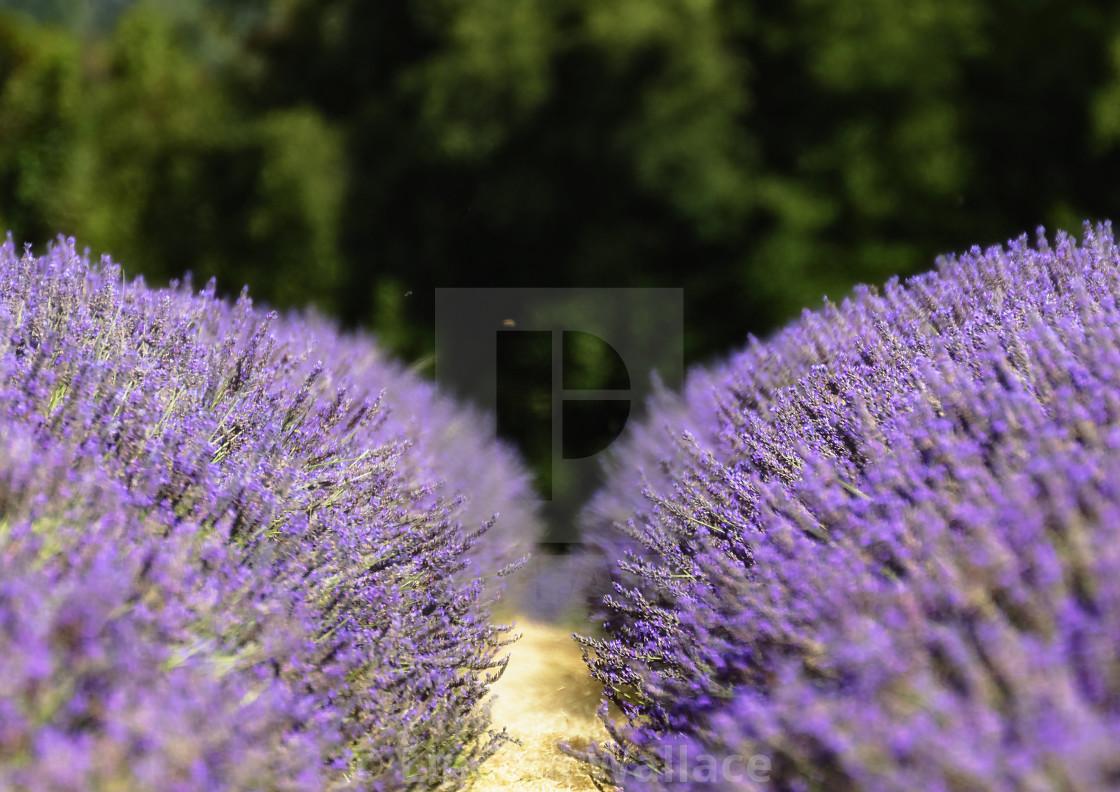 """Lavender Row -POV"" stock image"