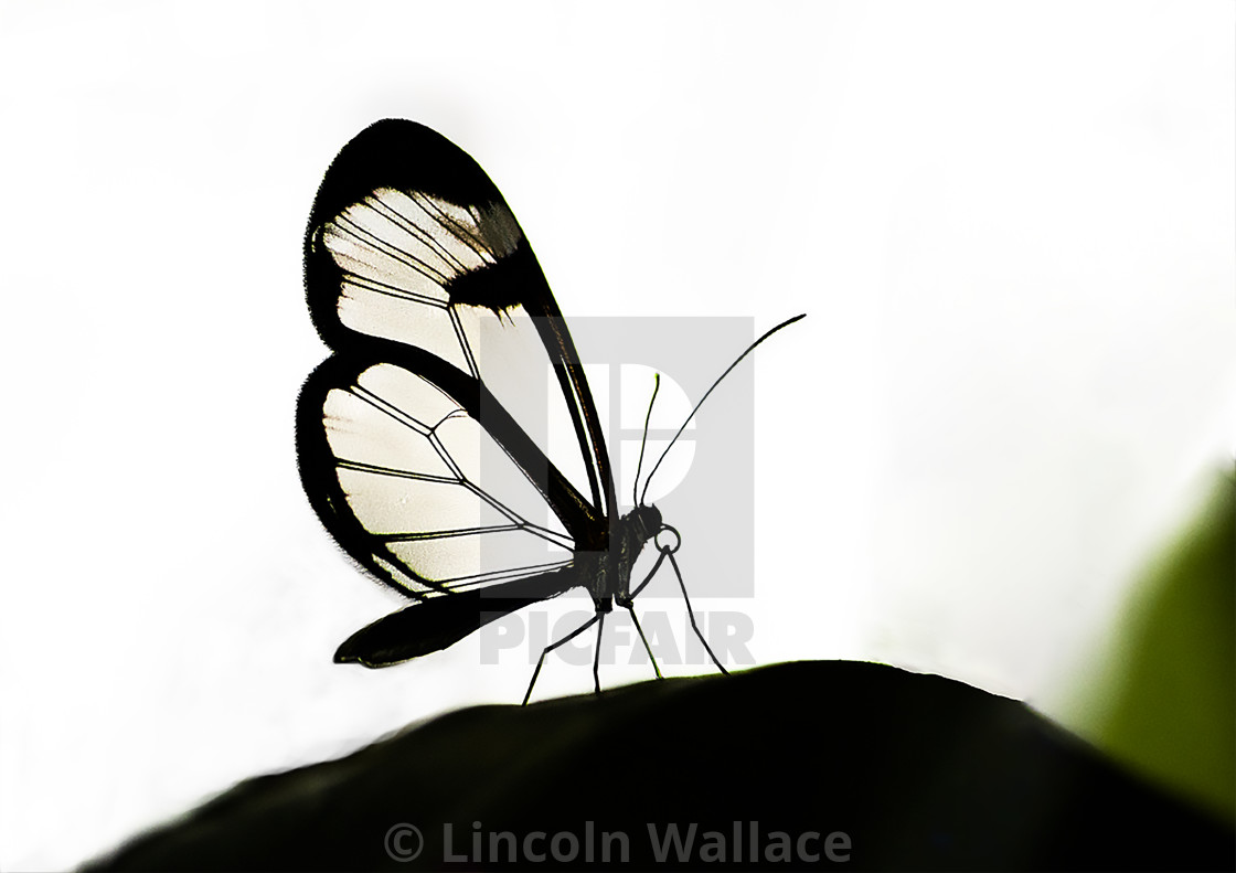 """Glass-winged butterfly"" stock image"