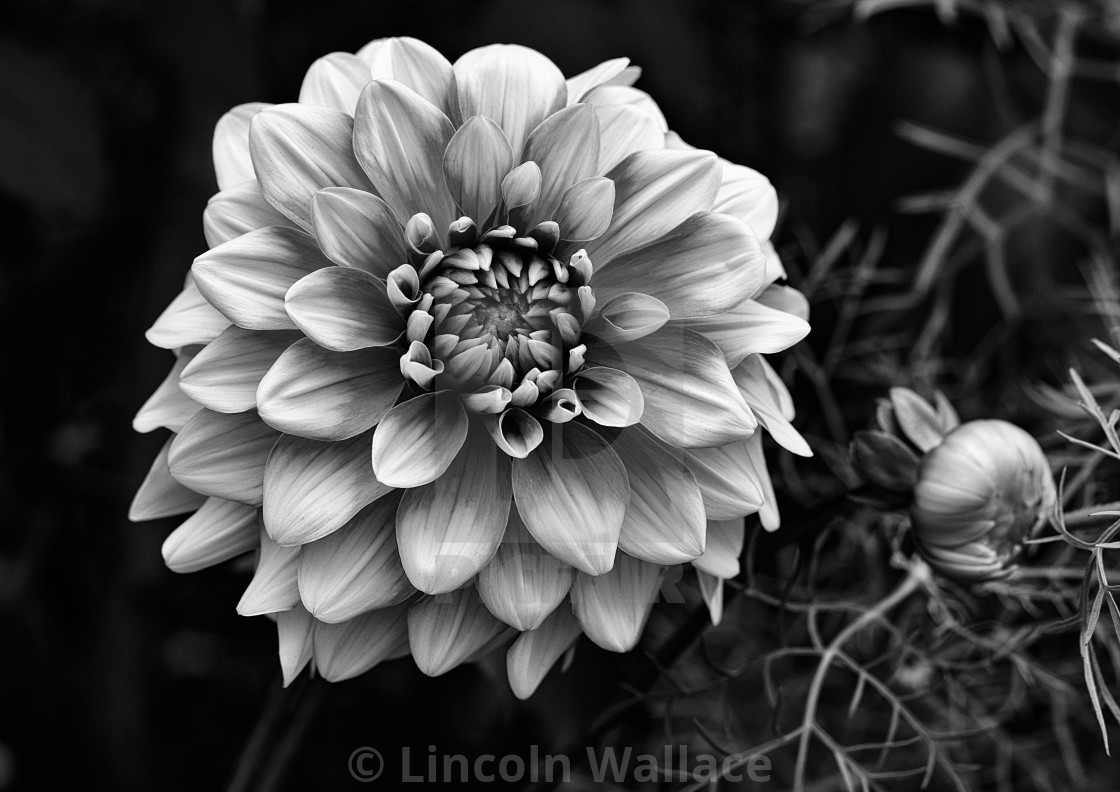 """Dahlia in B&W"" stock image"