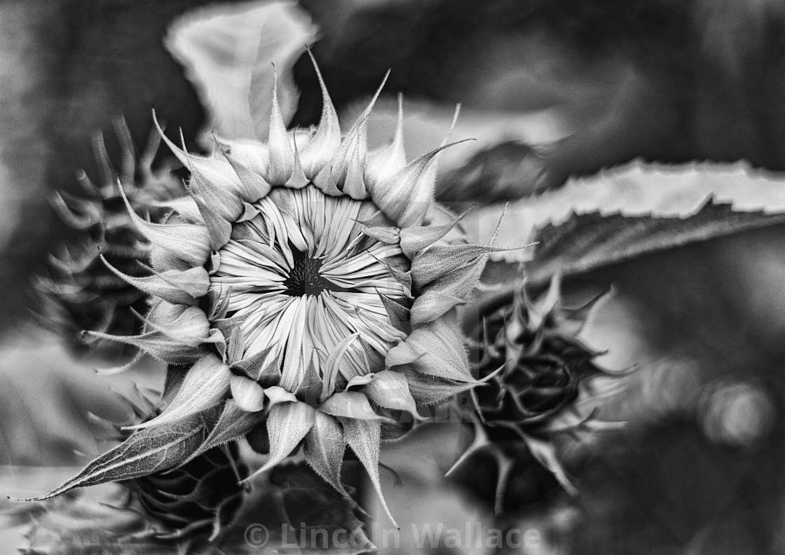 """""""Before the Bloom B&W"""" stock image"""