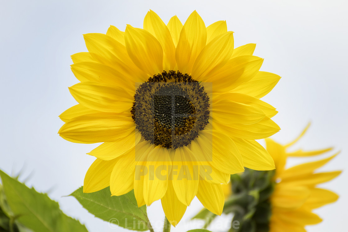 """""""Sunflower in Full Bloom"""" stock image"""