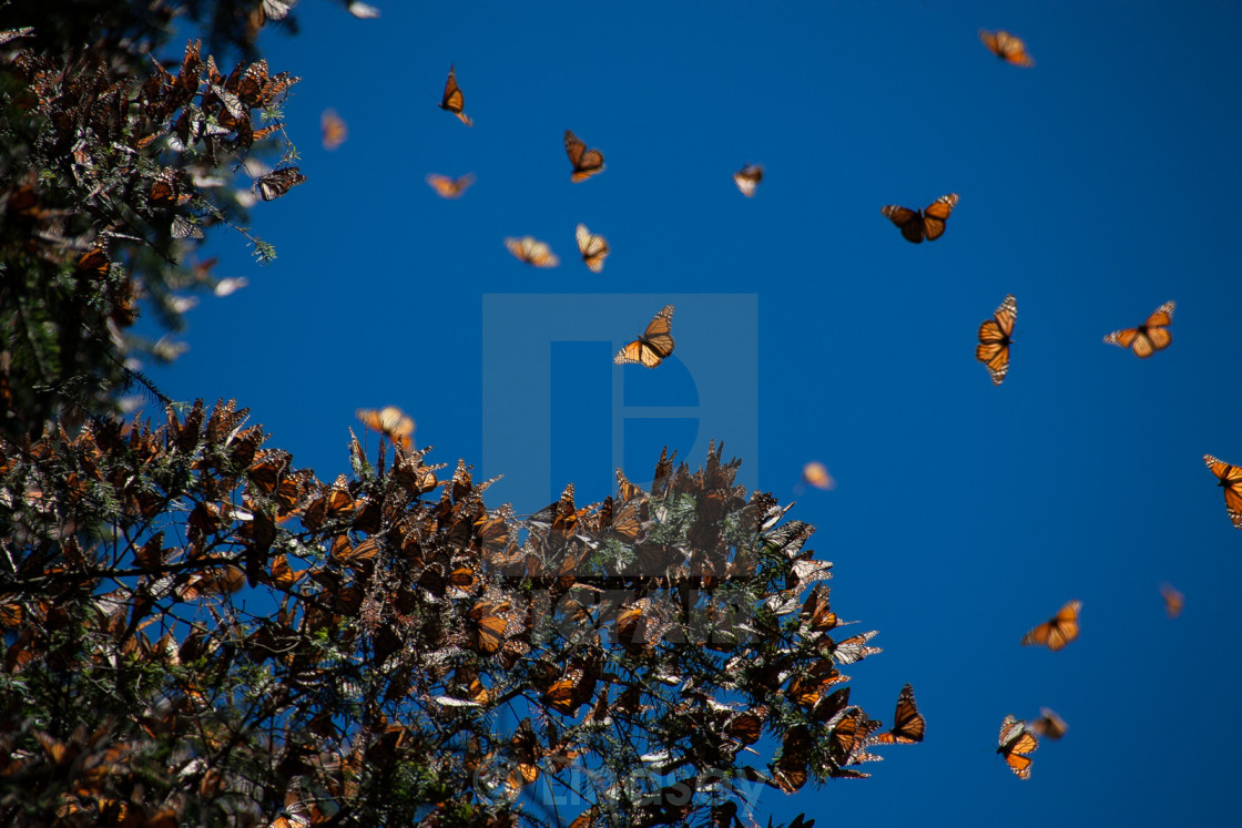 """Monarchs in Flight"" stock image"