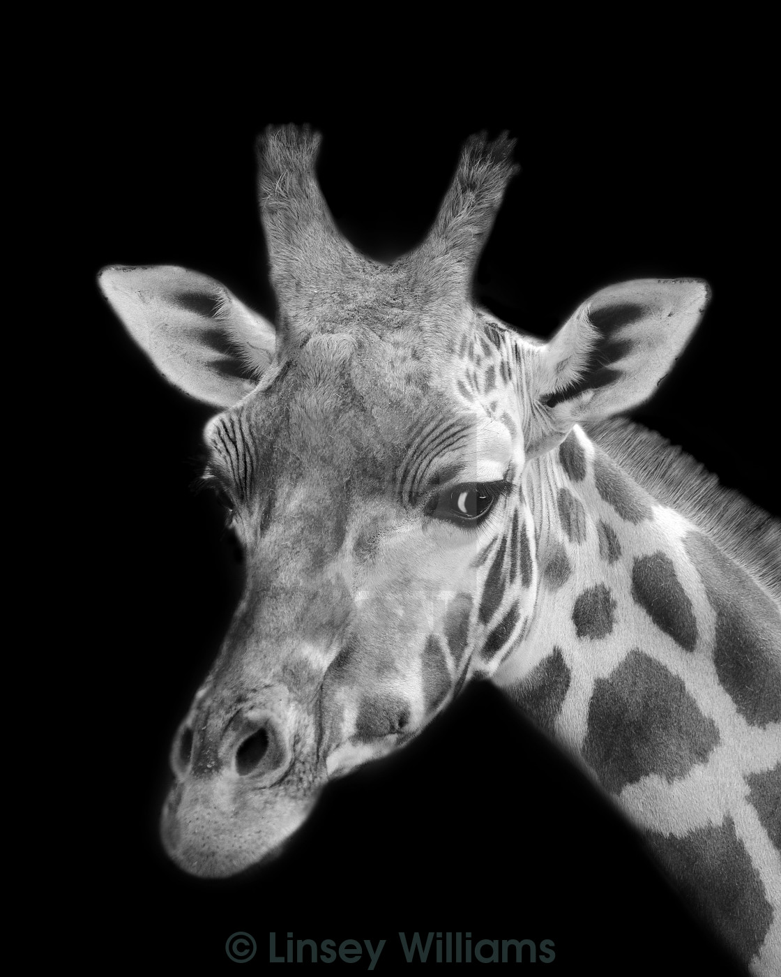 """Giraffe In Black And White"" stock image"