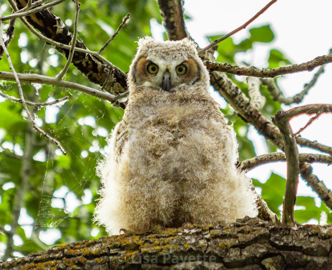 6a4acb8b9be Owlet Keeping an Eye On Me - License, download or print for £12.40 ...