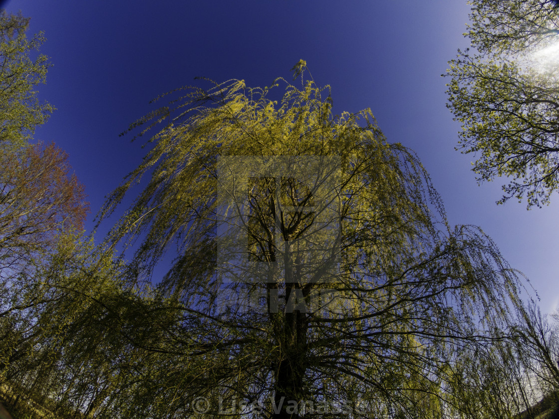 """The beginning of the flowering of a willow."" stock image"