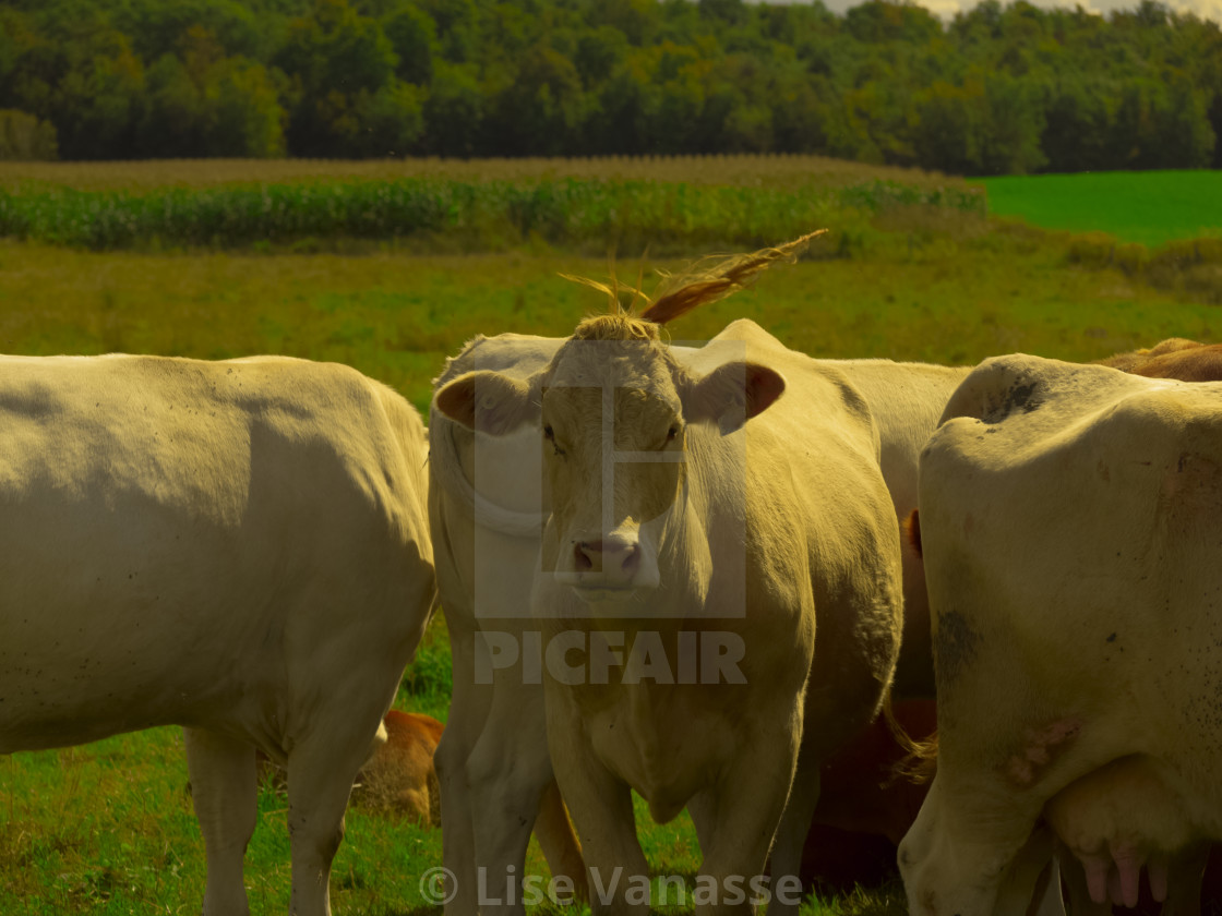 """""""A brown cow with a puff."""" stock image"""