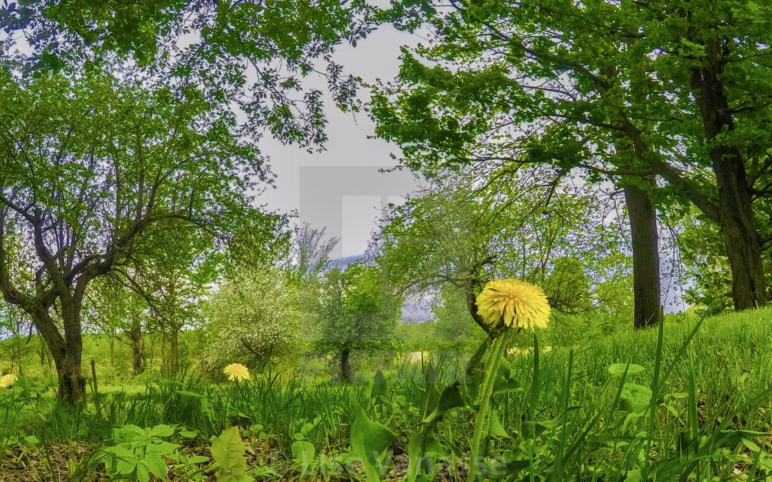 """A dandelion of spring."" stock image"