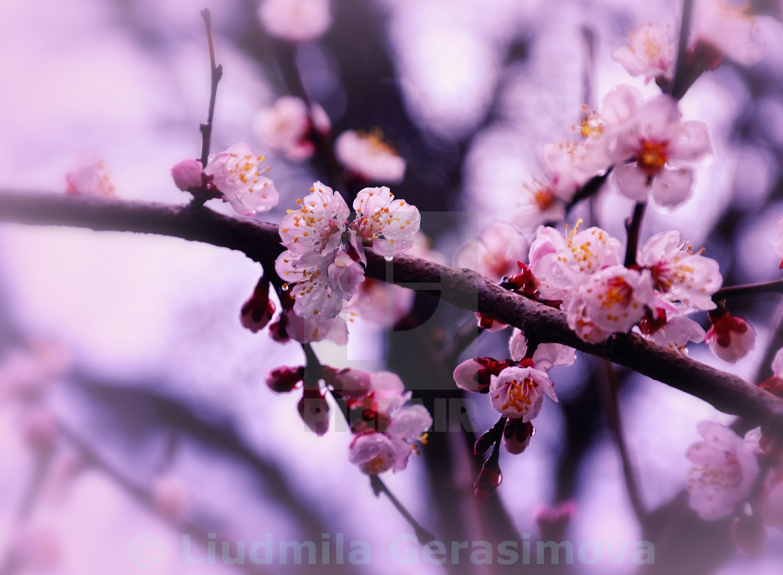 """Sakura Spring Blossom"" stock image"