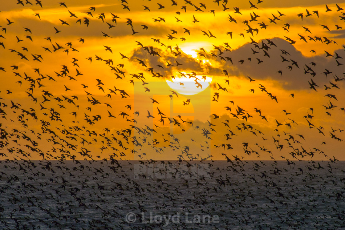 """Starlings sunset"" stock image"