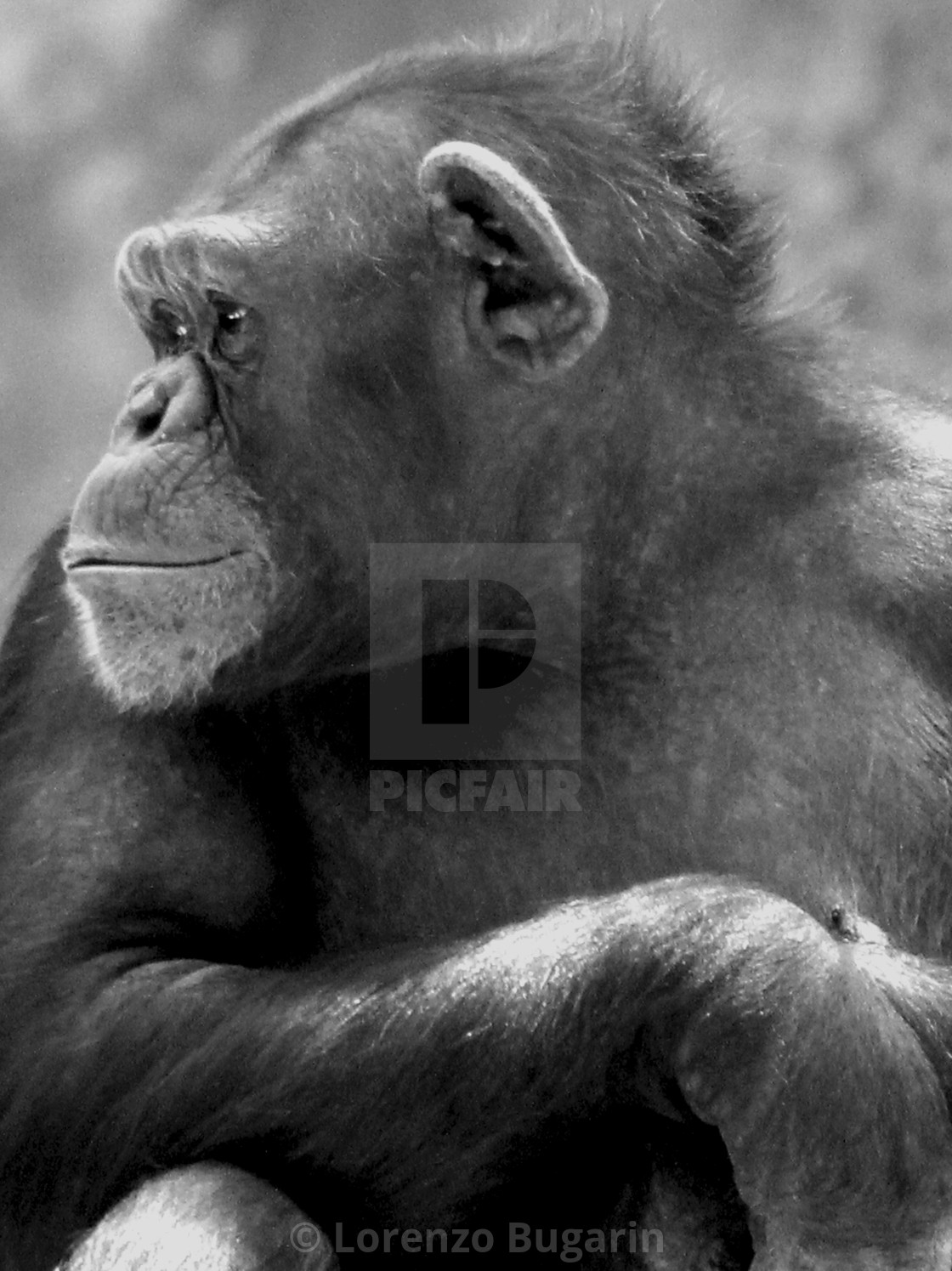 """""""Chimp in Black and White"""" stock image"""
