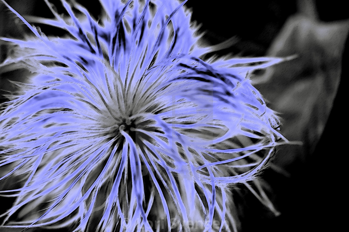 """Fluffy Allium Blue"" stock image"