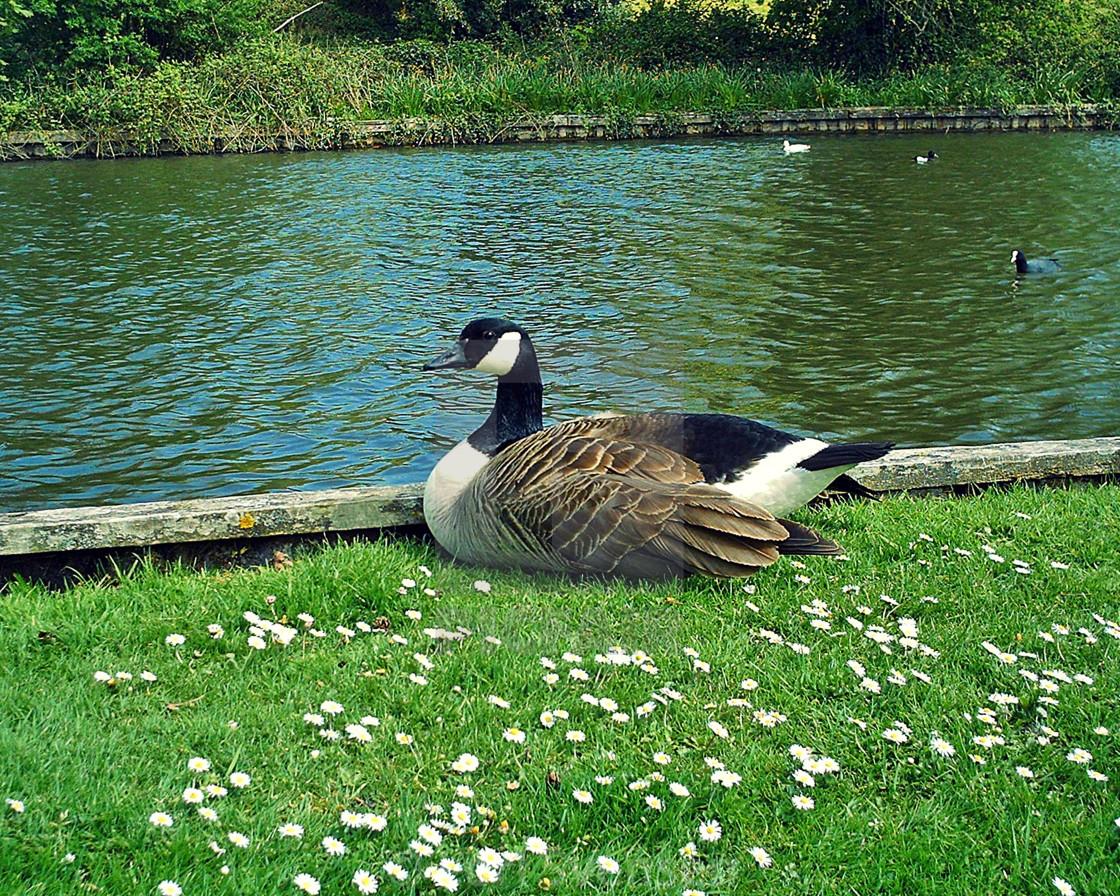 """Canada Goose Resting Warminster"" stock image"