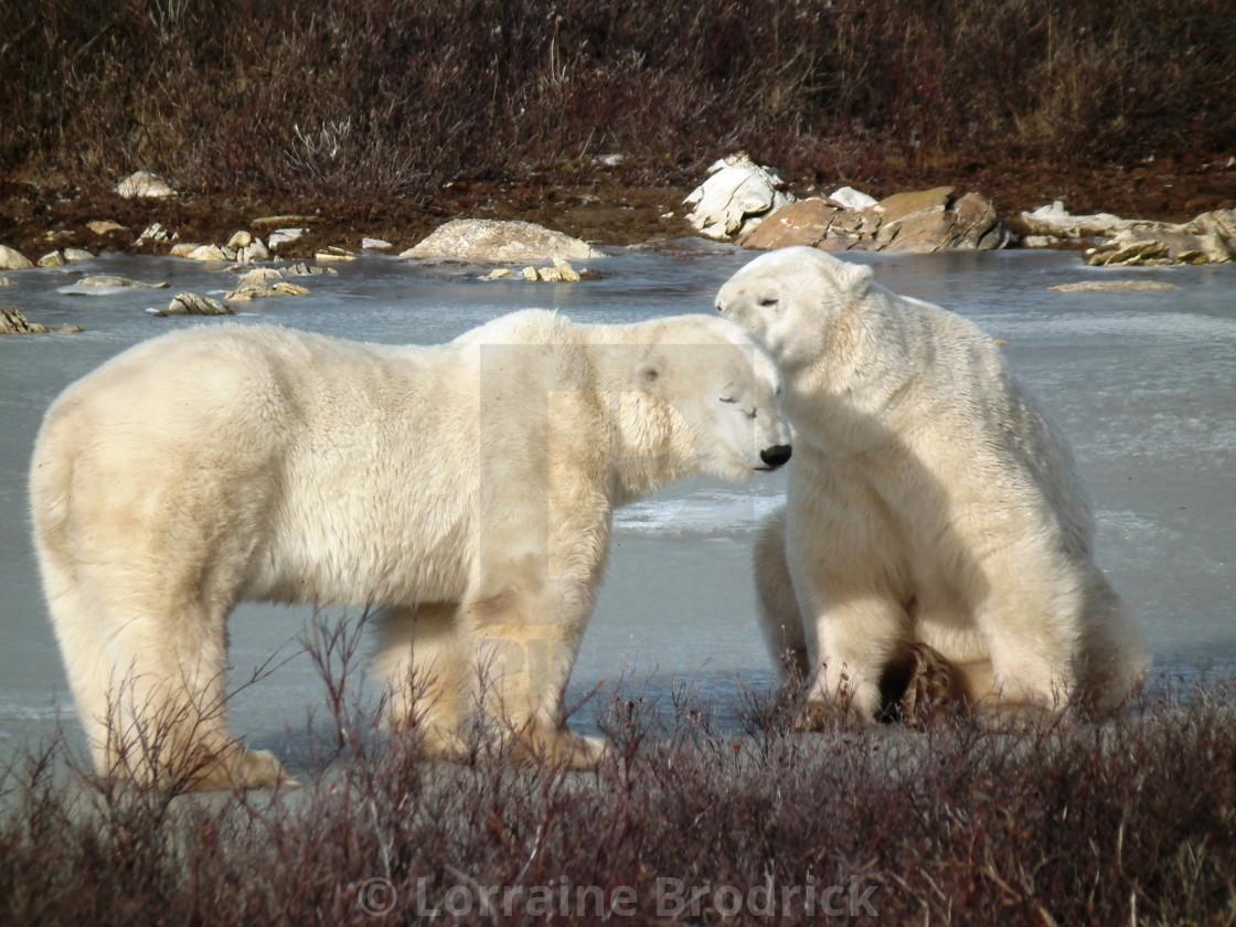 """Polar Bears, Churchill"" stock image"