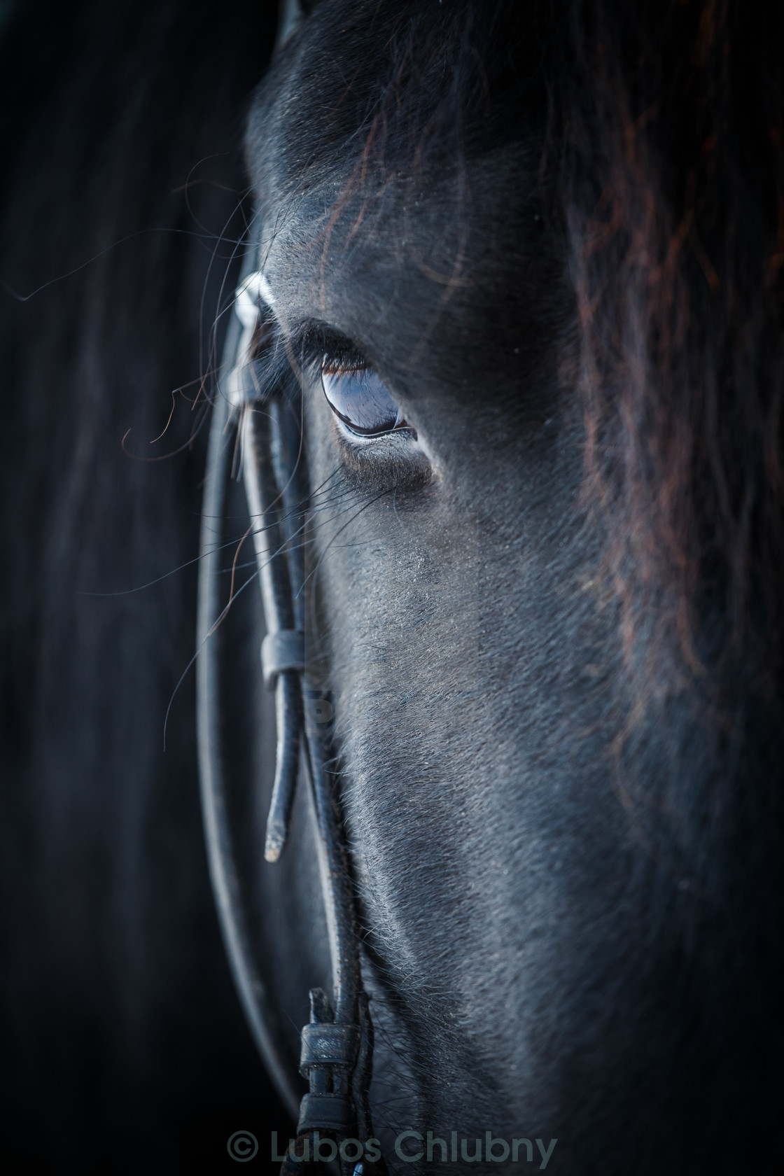 """Eye of Friesian horse"" stock image"