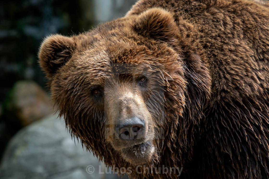 """Kamchatka Brown bear (Ursus arctos beringianus). Brown fur coat, danger and..."" stock image"