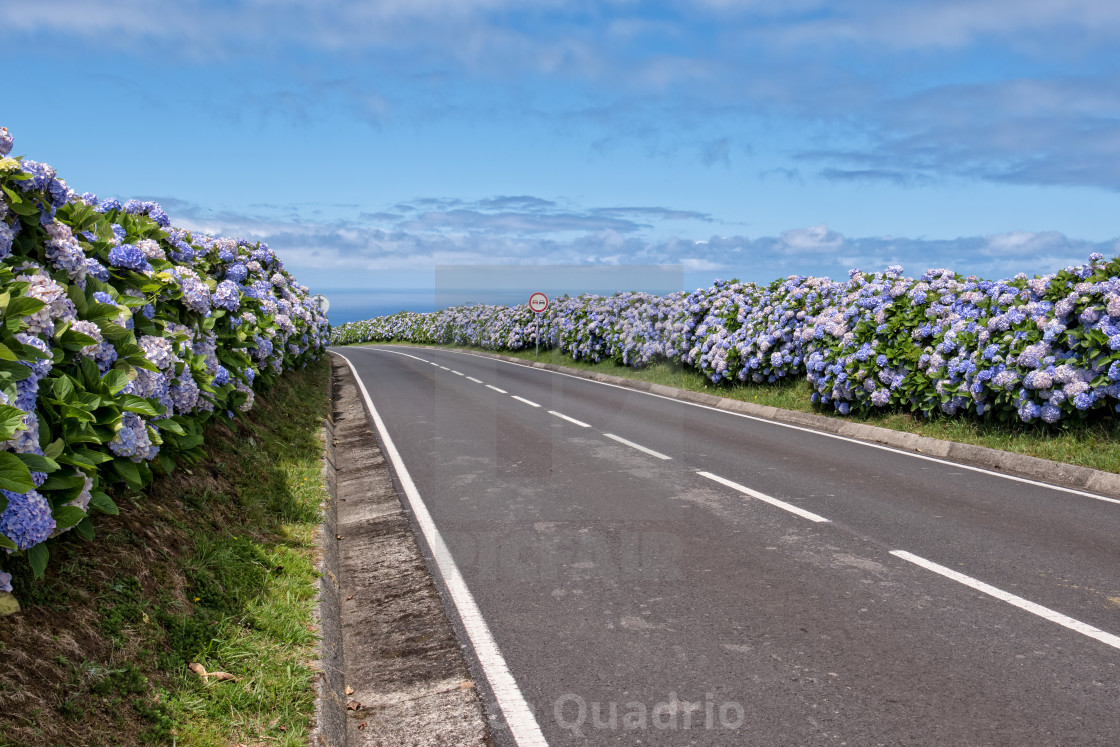 """Country road with hydrangeas"" stock image"