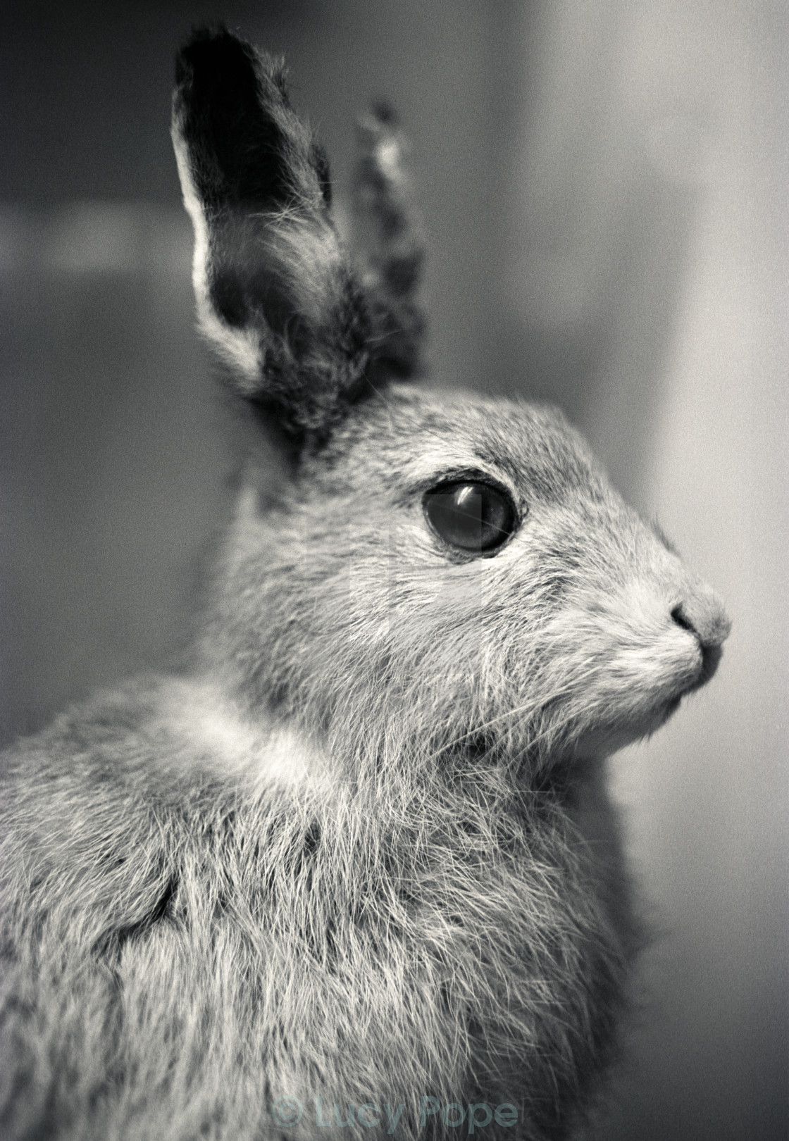 """""""Rabbit or Hare?"""" stock image"""