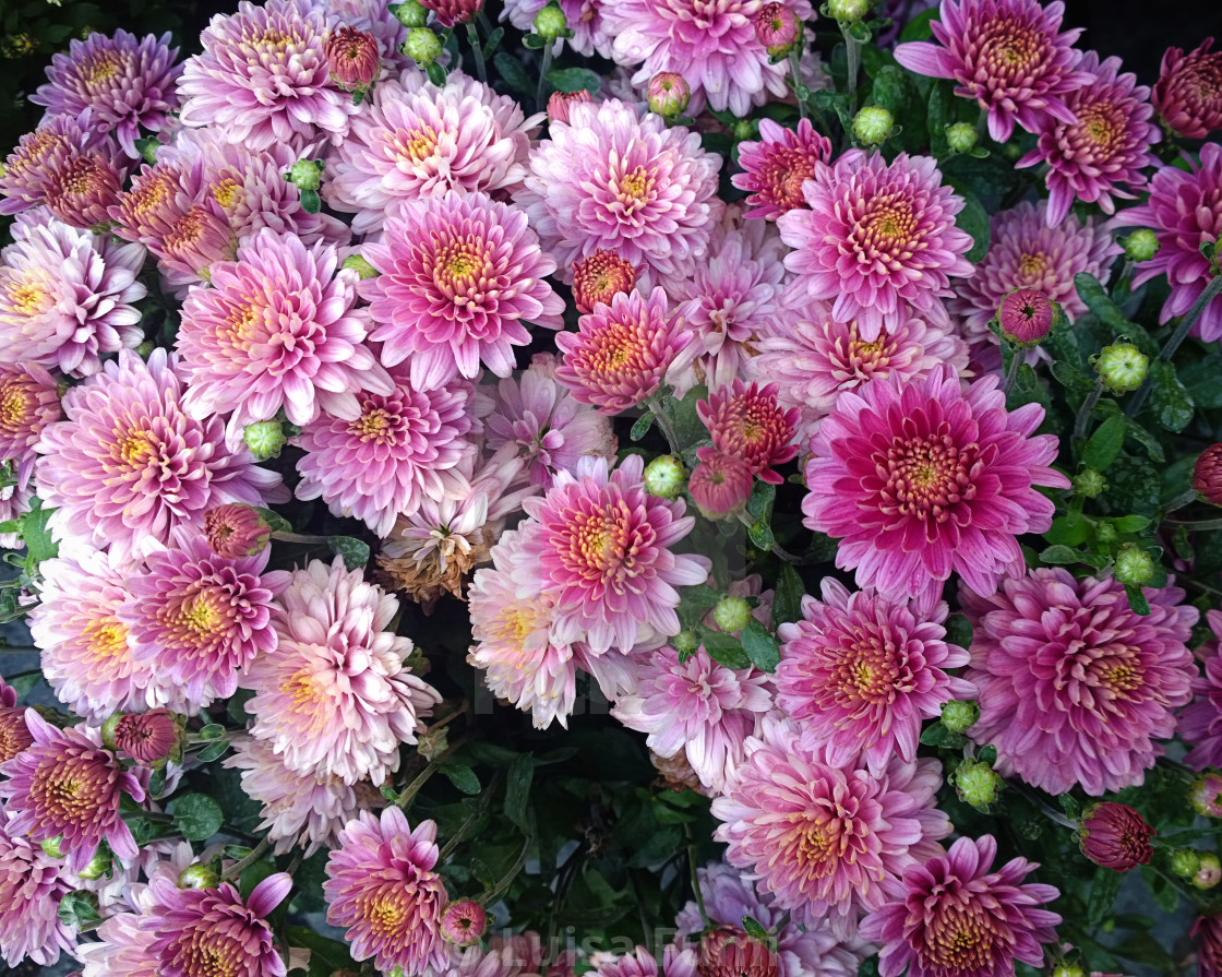 """Beautiful arrangement of pink chrysanthemums"" stock image"