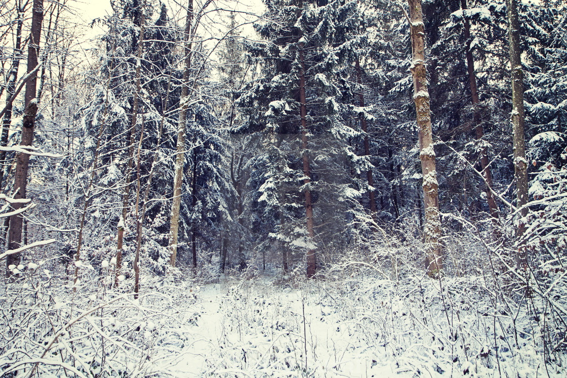 """Nature in winter, woodland covered by snow"" stock image"