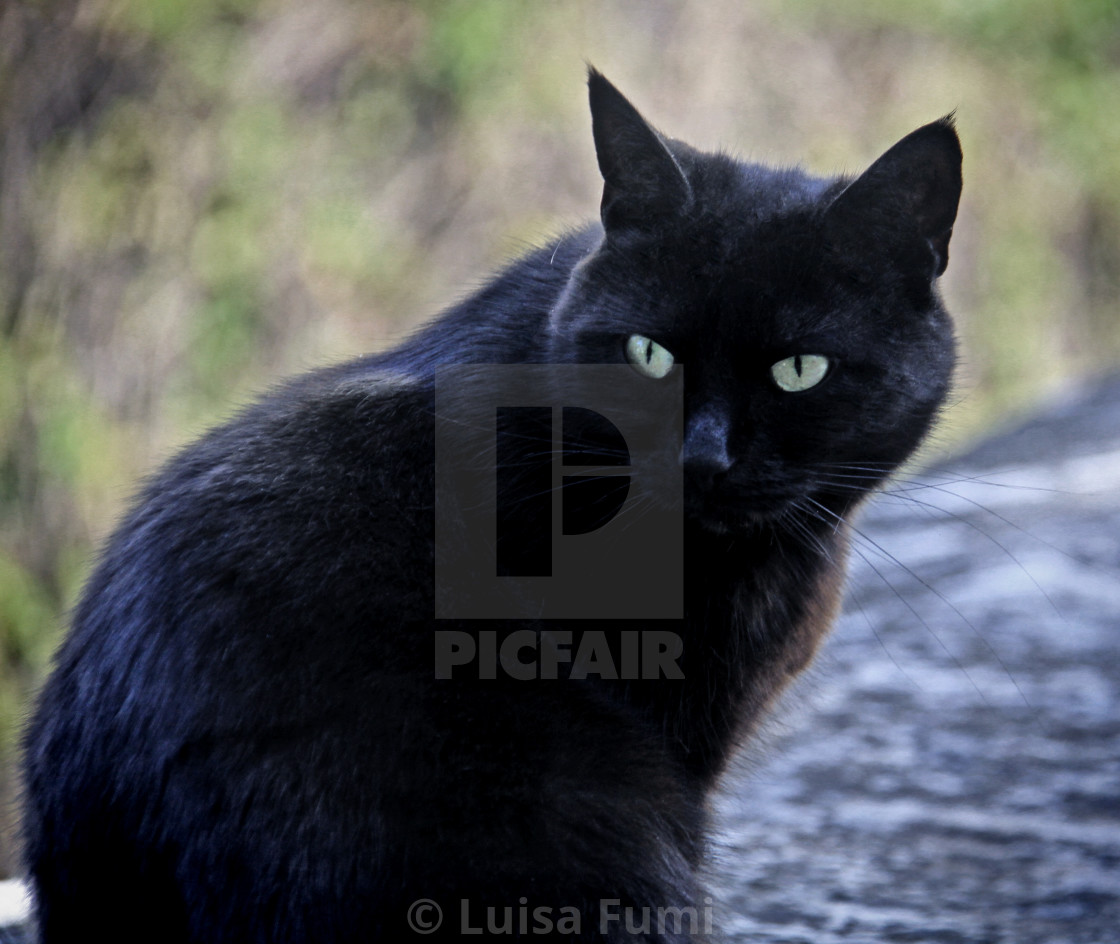 """""""Black male cat with green eyes portrait"""" stock image"""
