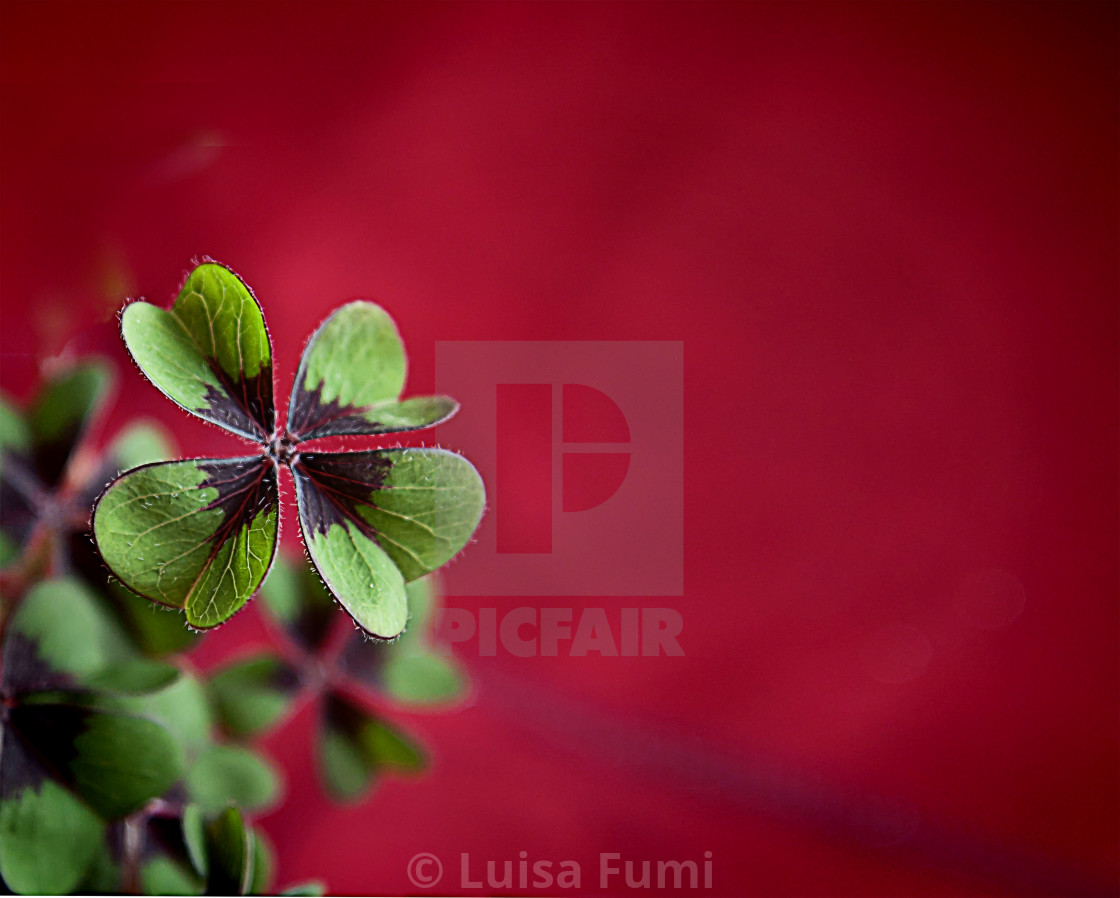"""Four-leaf clover on blurred background"" stock image"