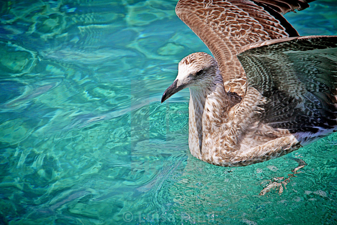 """Young seagull floating on crystal clear turquoise sea waters"" stock image"