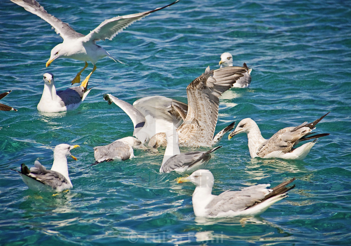 """Hungry seagulls looking for food in the sea water"" stock image"