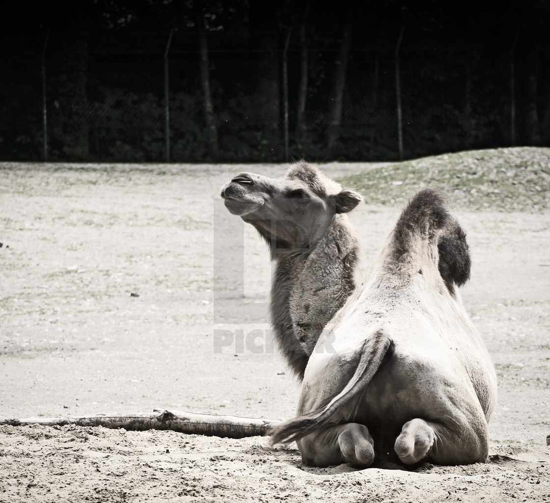 """Animal wildlife portrait, crouched camel looking up"" stock image"